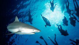 Caribbean Reef Sharks