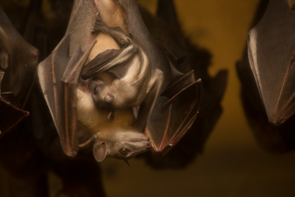 Pictures of Fruit Bat Baby Will Turn Your Frown Upside Down