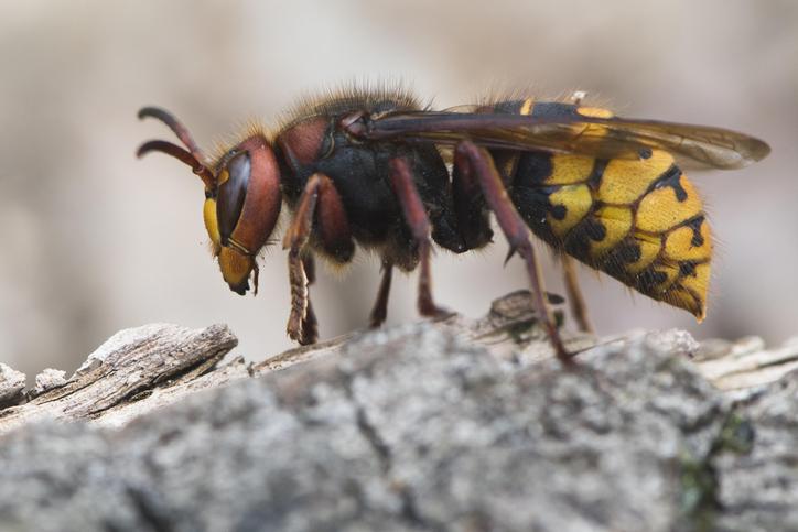 Hornet Queen (Vespa crabo), Emsland, Lower Saxony, Germany