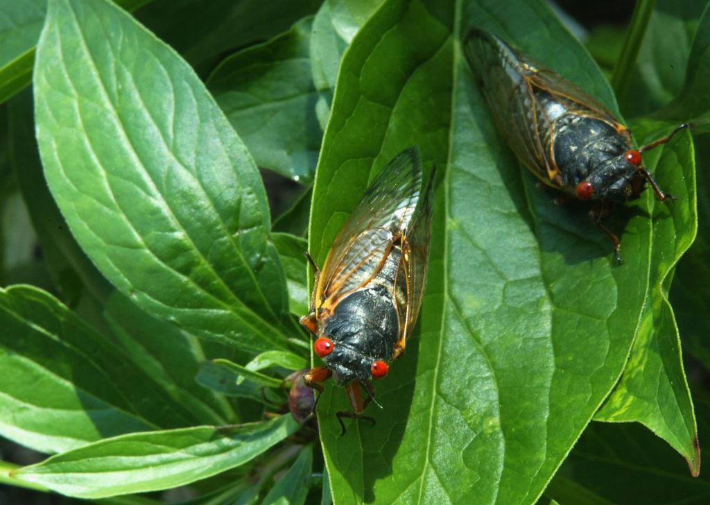 Cicadas Start To Emerge After 17-Year Slumber