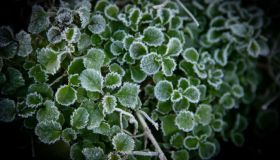 Early morning frost on the foliage of Lobelia, highlighting the edges of the leaves and beautiful natural pattern.